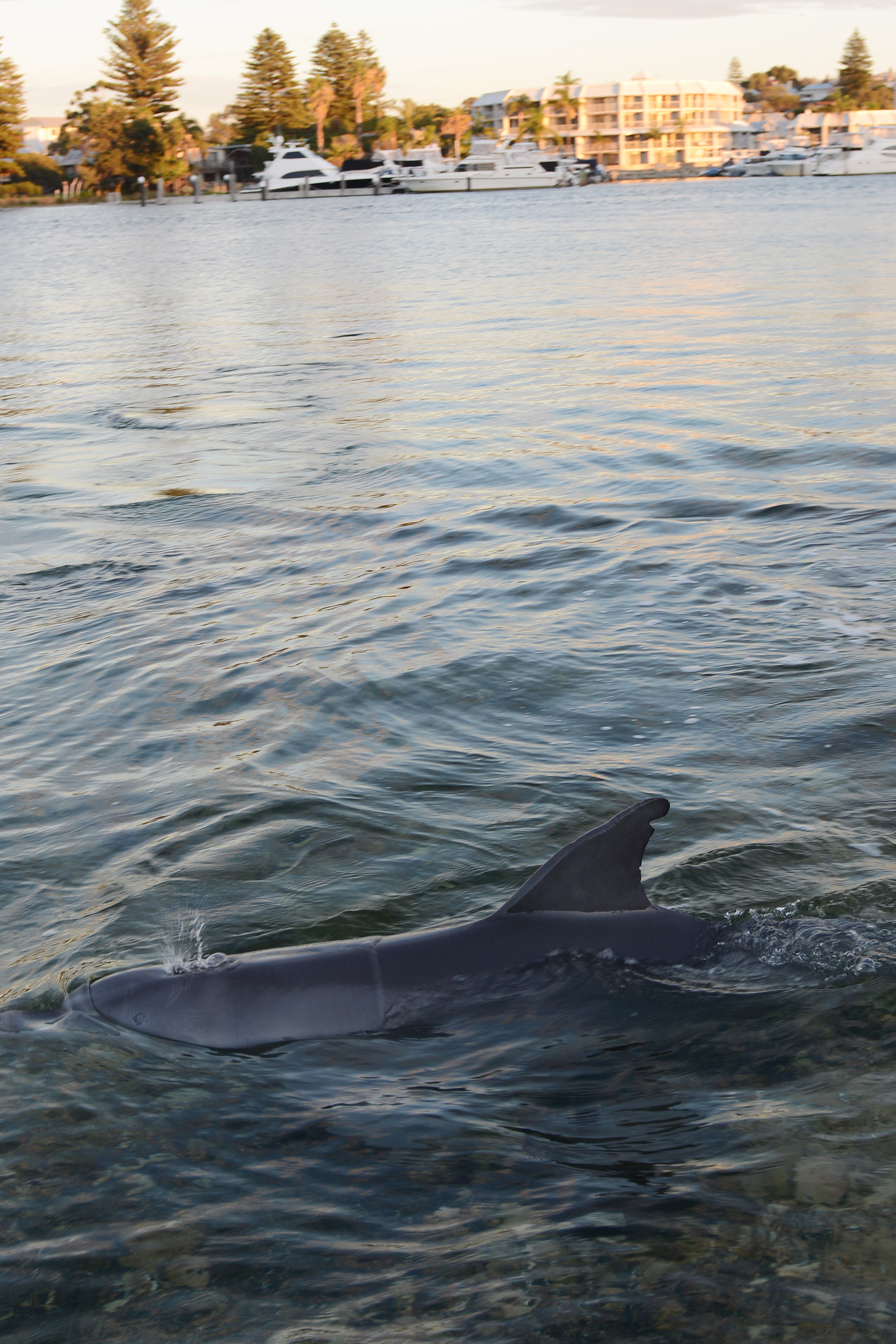 Dolphins stop traffic in East Freo