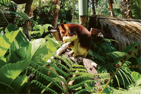 New Goodfellow's tree kangaroo Haroli eats while in his mother Doba's pouch.