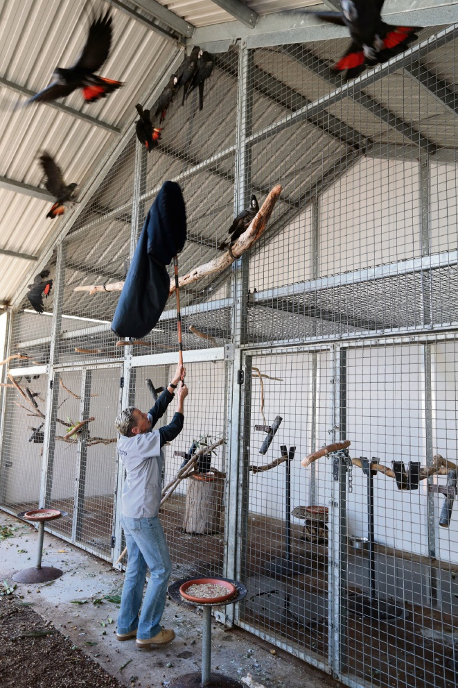 Yanchep: rehabilitated Carnaby's white tail black cockatoos to be returned to the wild