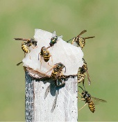 Residents are asked to keep an eye out from European wasps, which are bright yellow in colour, with black stripes and yellow legs and black antennae.