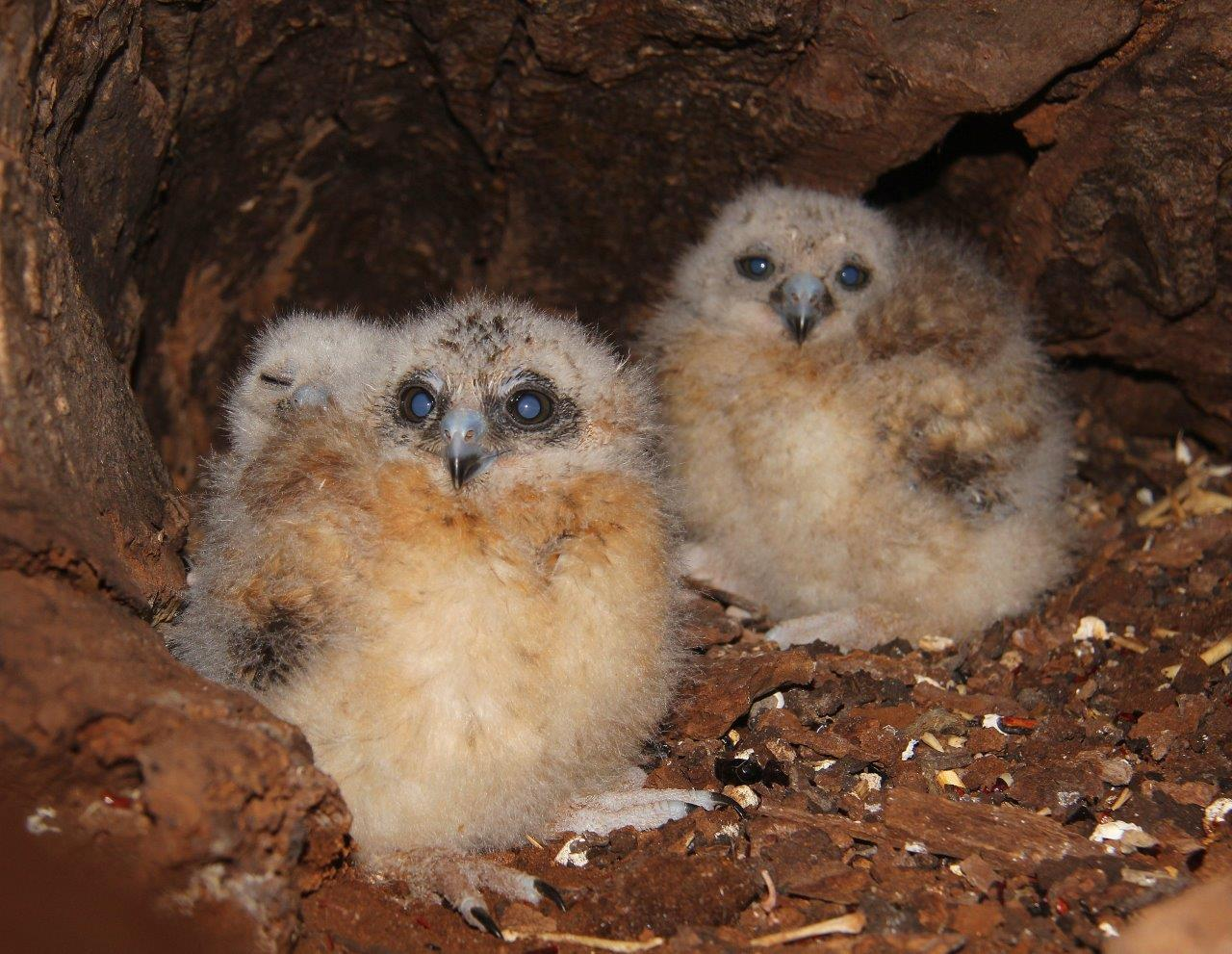 Boobook Owl chicks. Picture: Simon Cherriman