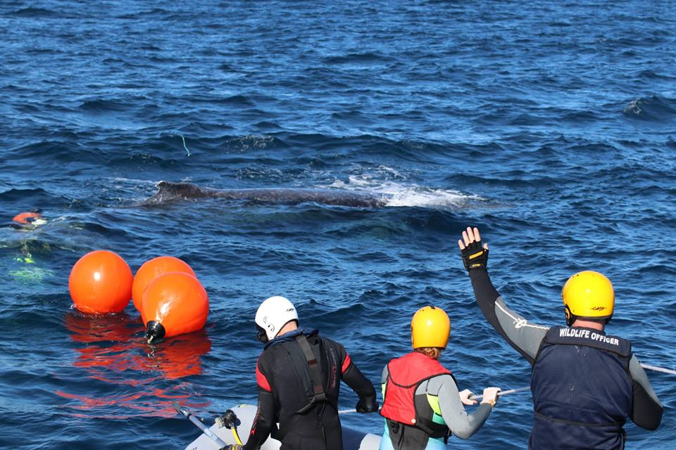 Humpback whale rescue off Two Rocks. Picture: Melissa Evans, Parks and Wildlife