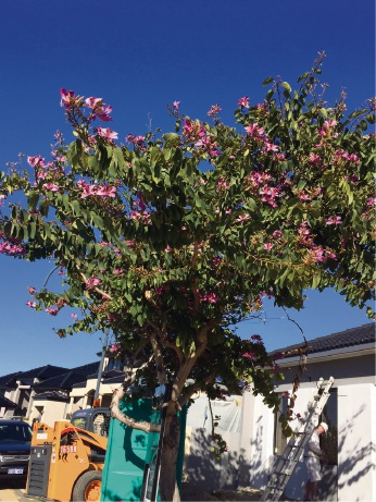 City of Mandurah says onus on residents to replace trees