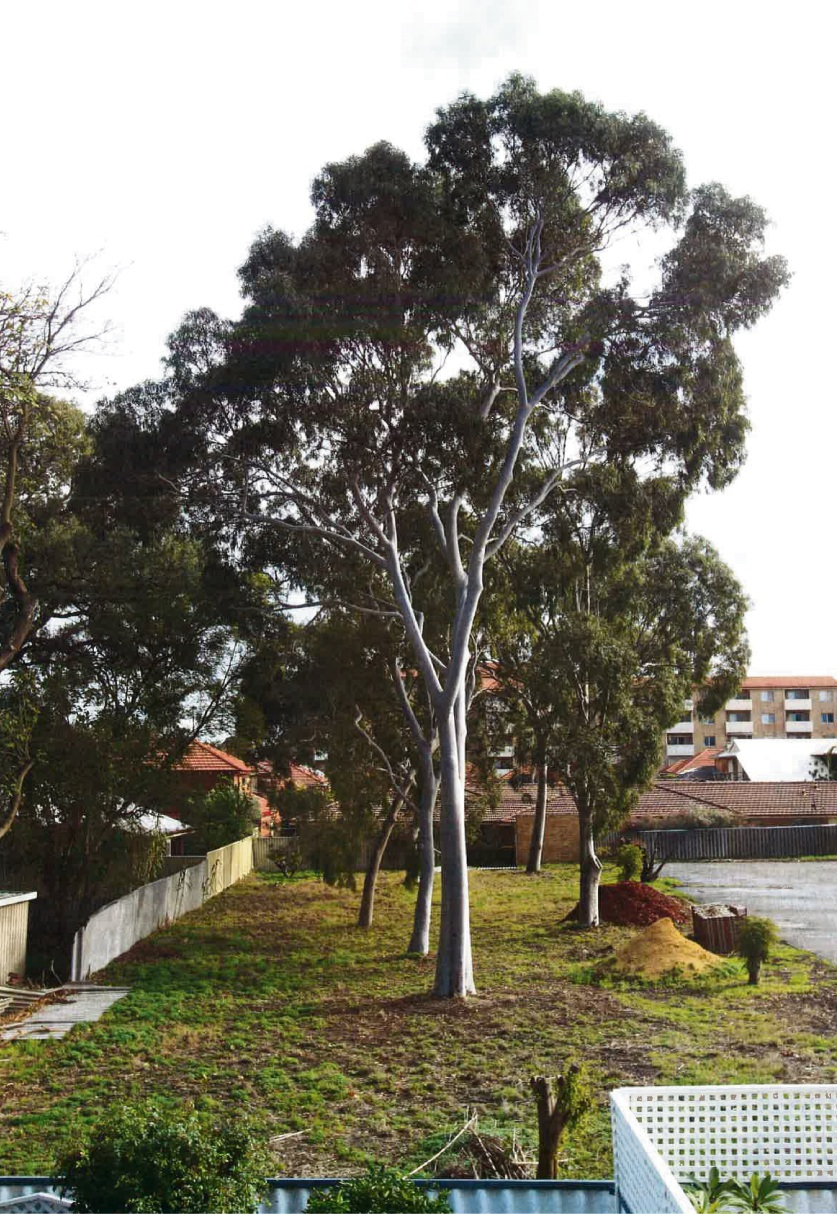 The gum trees at the site. Picture: Derek Brown