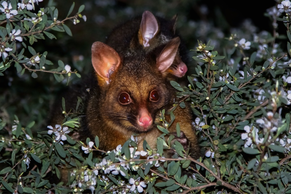Land clearing regulations in WA fail to consider the harm  caused to animals such as possums, according to a new review.