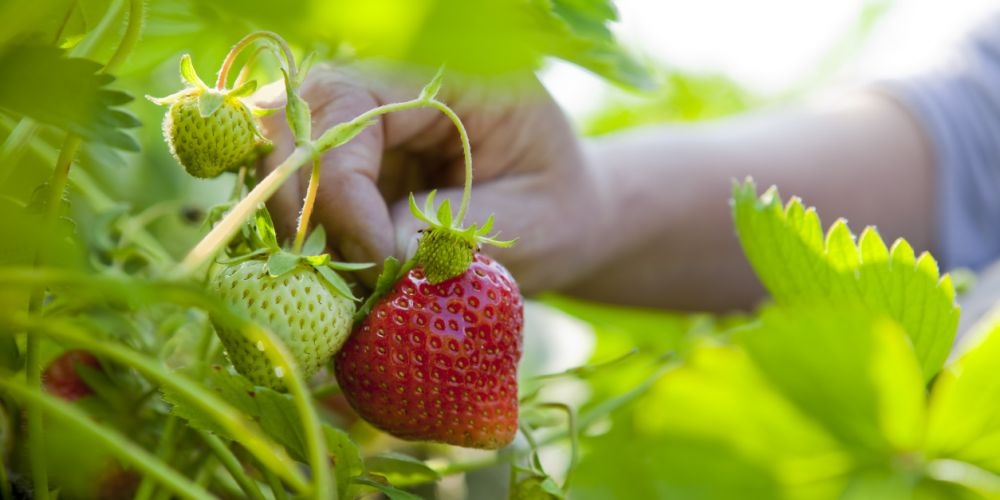 Strawberry picking in Bullsbrook