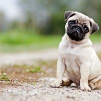 Estelle Makwana claimed to have a pug puppy for sale. Picture: stock image