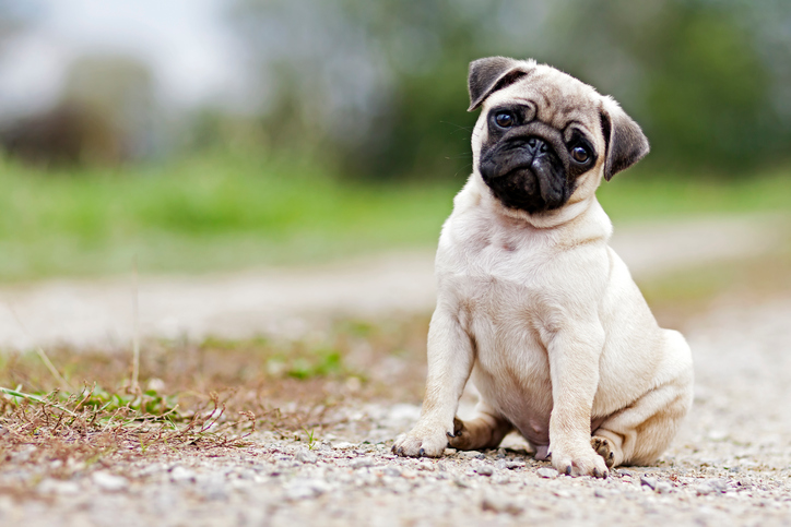 Pug puppy for sale.