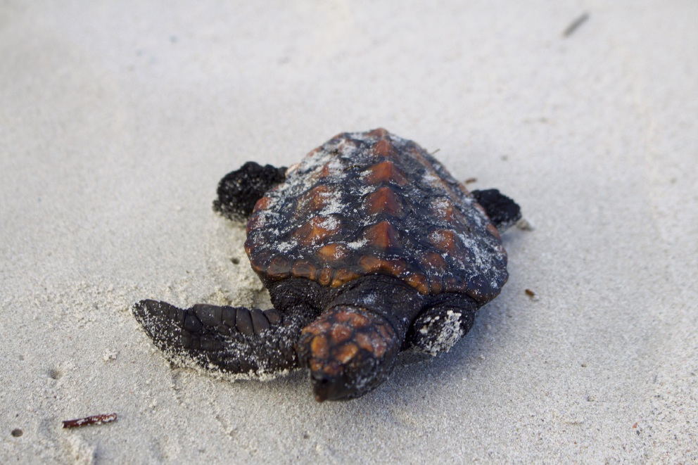 This baby turtle, missing a flipper, was found at Two Rocks. Picture: Neptunes Photography
