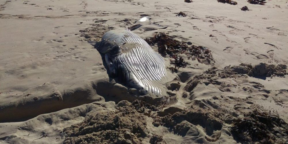The baby whale carcass found near Yanchep. Picture: City of Wanneroo