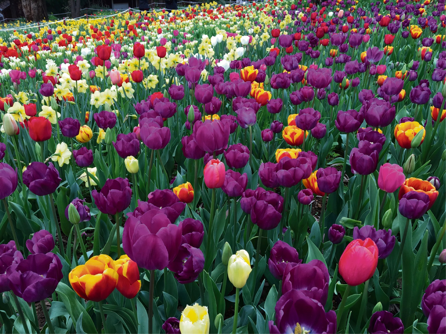 About 140,000 tulips have been planted at Araluen Botanic Park in preparation for It's Yates Springtime.