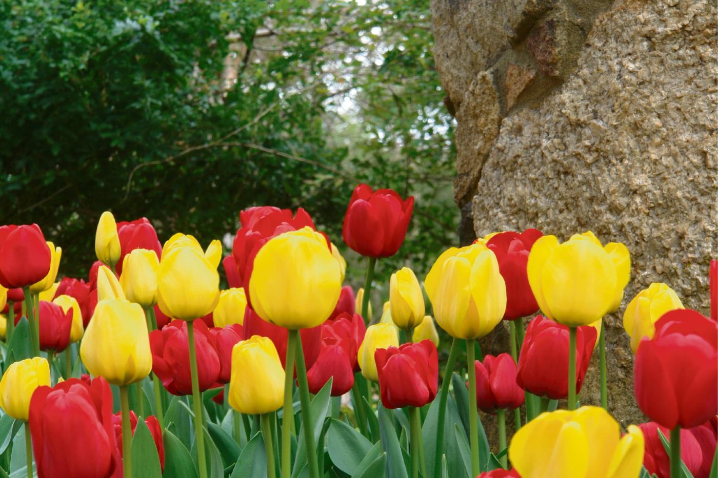 The tulips at Araluen Botanic Park.