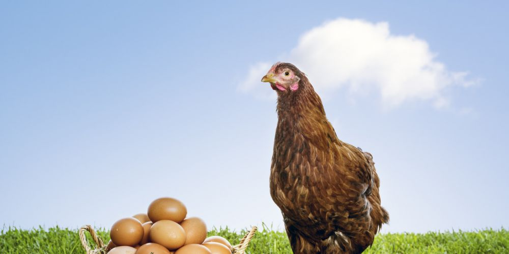 Happy hen, good eggs.