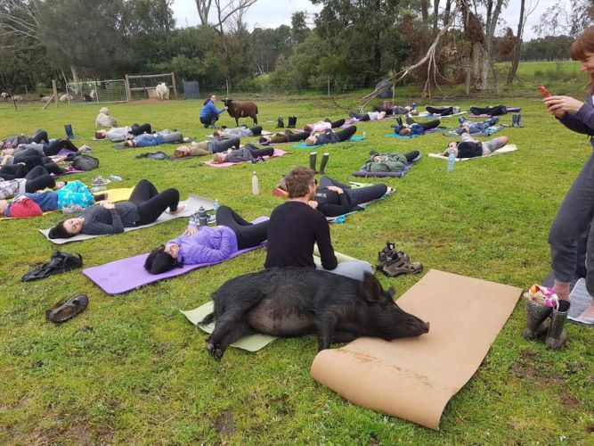 There was no planking by Jimmy the wild boar at Yoga in the Pasture on Sunday.