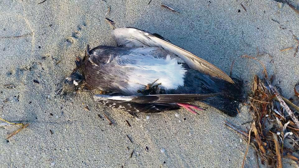 UPDATE: Pigeon baiting possible cause of dead birds on Safety Bay Beach