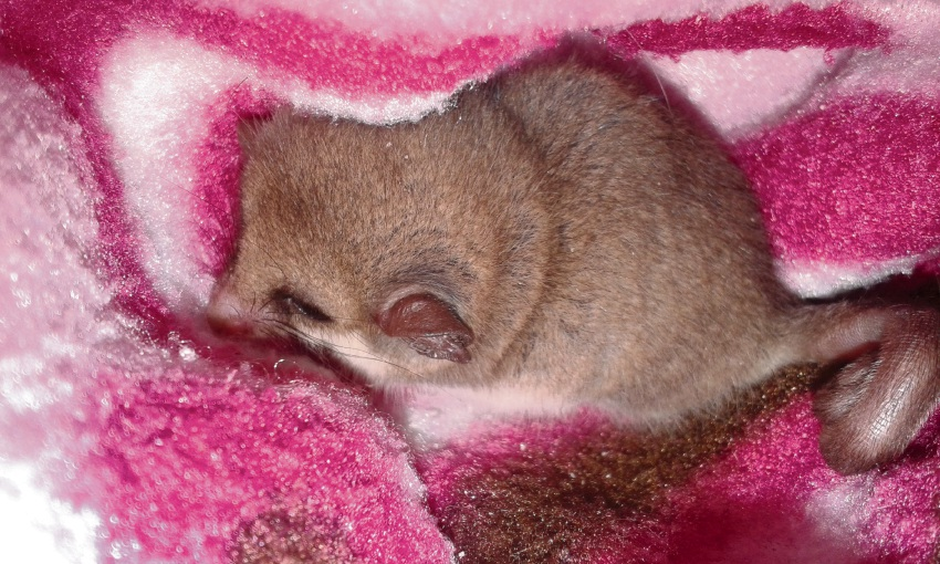 The female pygmy possum was lucky to have been found by some quick-thinking building site workers at the Yanchep Surf Life Saving Club. Picture: Northern Valleys Wildlife Rescue