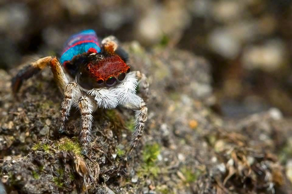 Rockingham photographer Paul Irvine found a new species of peacock spider.