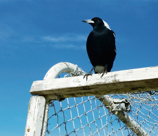 City of Wanneroo shares tips for protection against swooping magpies