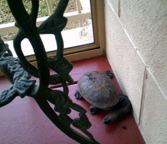 The long necked turtle that visited a Safety Bay resident.