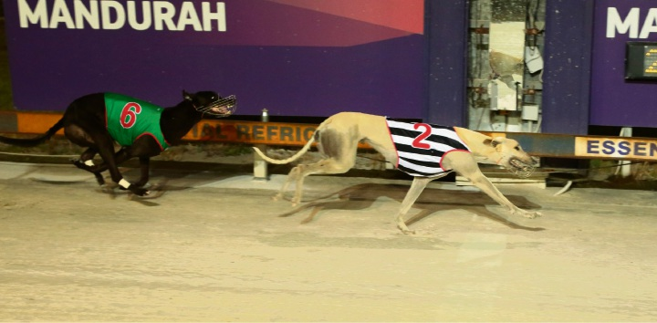 Greyhounds: Astrozone soars to win Mandurah Cup