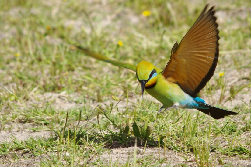 Opinion: beautiful rainbow bee-eaters have returned – Gary Tate, Greenwood