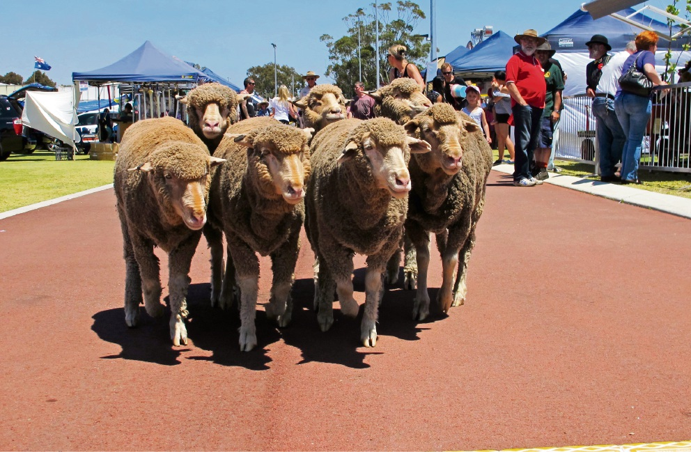 Confirming the agricultural roots of the Canning Show – sheep meander through the Showground.