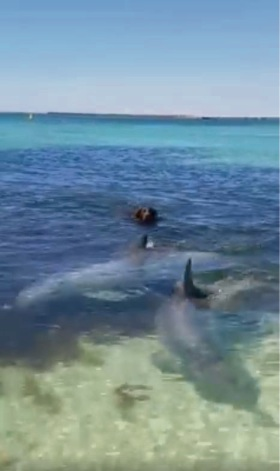 Shoalwater: the beautiful moment a dog swims with dolphins has been captured on video