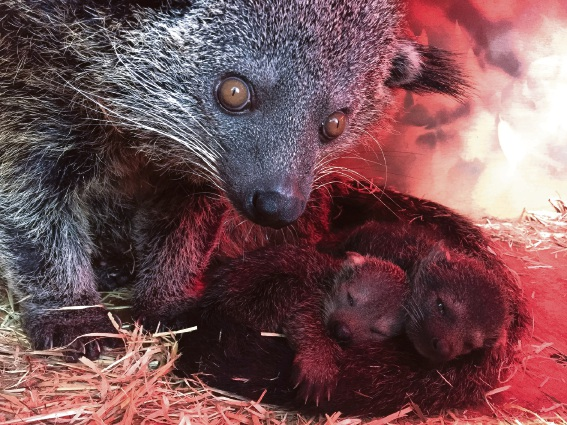 Perth Zoo's rare Binturong family.