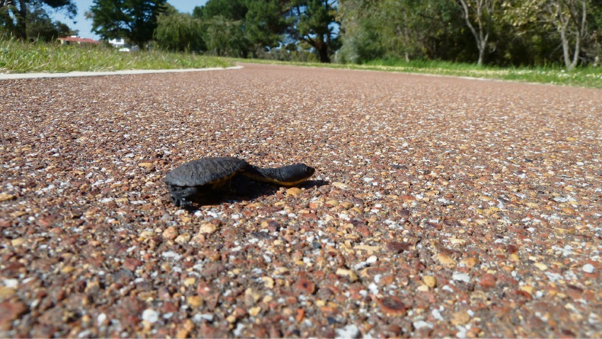 Turtles on the move in Joondalup