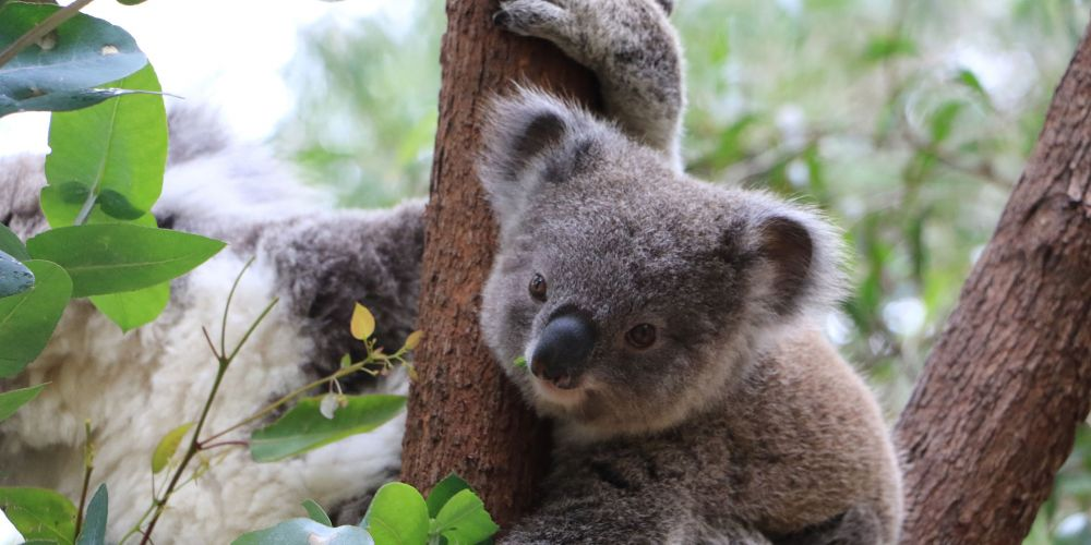 Poo capsules could put more trees on the menu for koalas.