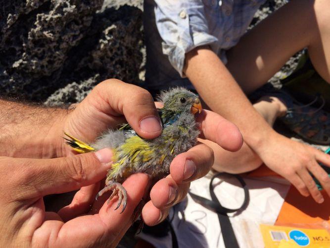 Rottnest Island rock parrot.