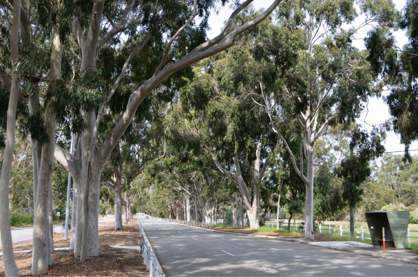 The lemon-scented gums on Welshpool Road East.