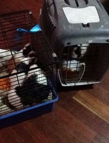 More than 50 guinea pigs dumped south-east of Mandurah