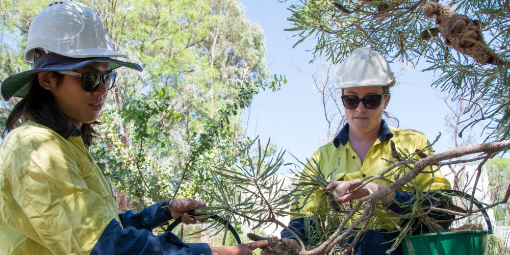 LandCorp is running a seed collection program in Shenton Park to revegetate bushland.