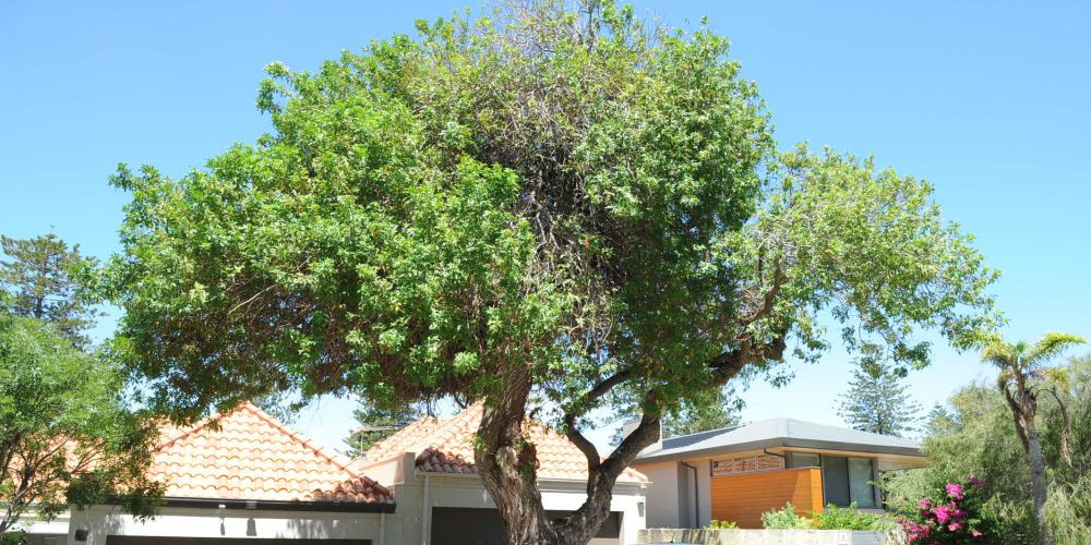 Cottesloe neighbours face paying costs to remove and replace pest tree