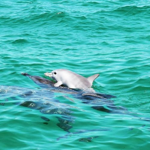 The dolphin calf hitching a ride to Penguin Island.