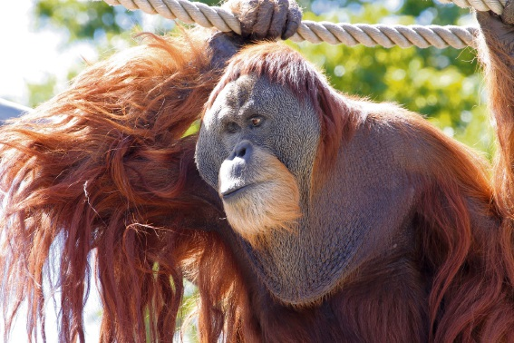 Perth Zoo's oldest male Sumatran Orangutan Hsing Hsing.