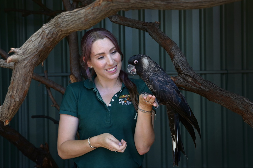 Emily Trainer (Australian fauna keeper) with Pepe (Baudins Cockatoo). Picture: Martin Kennealey www.communitypix.com.au   d477991