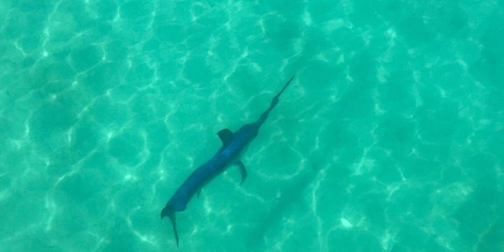 Swordfish off Port Coogee fascinates beachgoers