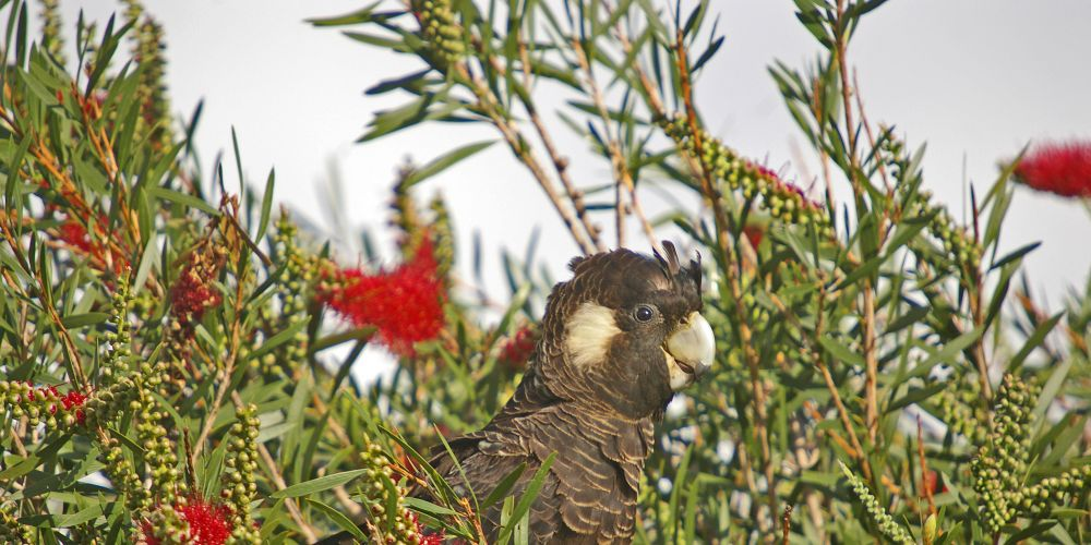 Carnaby's Black-Cockatoo. Photo: Chris Tate/BirdLife WA