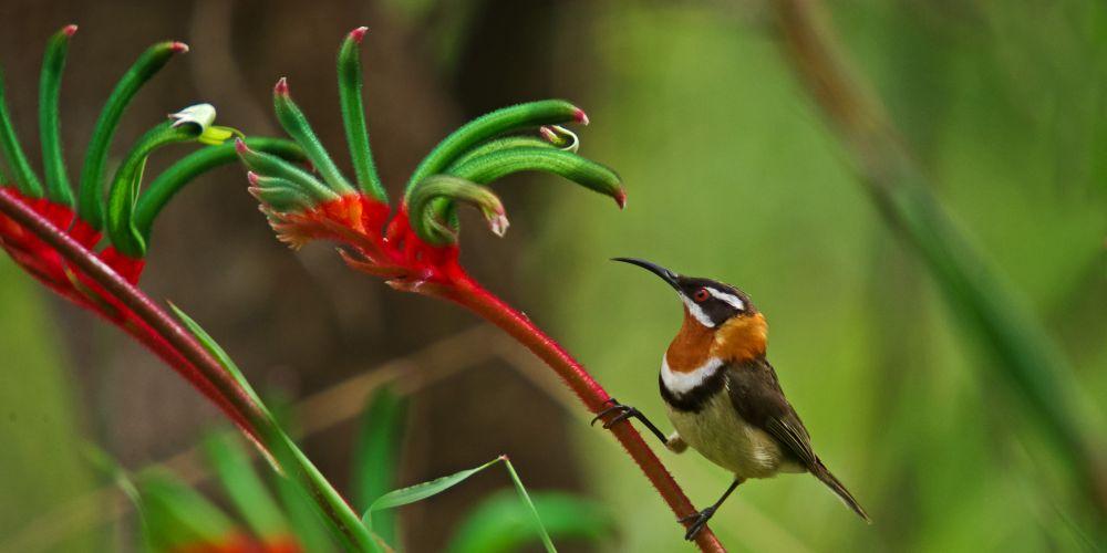 Western Spinebill. Photo: Chris Tate/BirdLife WA