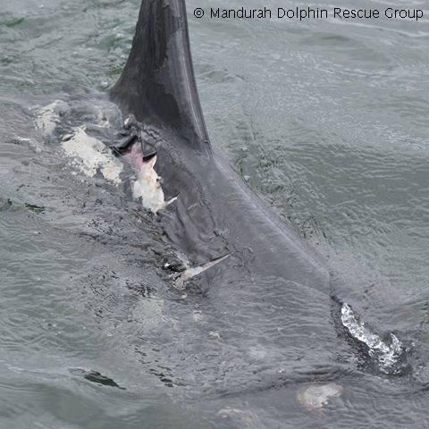 Mandurah dolphin sustains excessive sunburn injuries