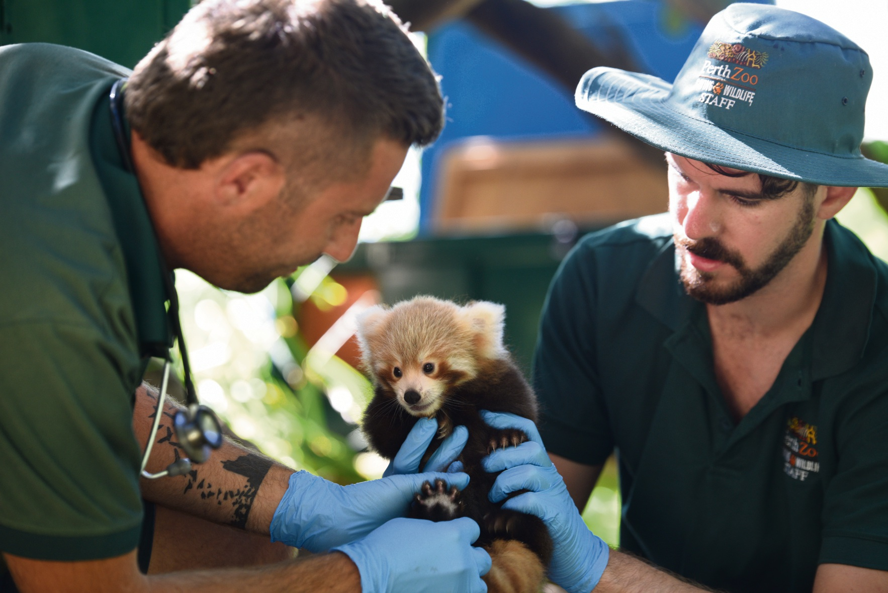 The red panda cub undergoing its first health check at Perth Zoo. Picture: Alex Asbury.