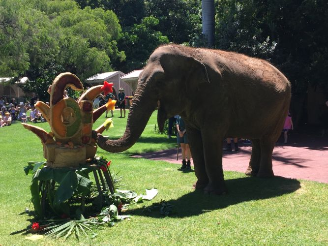 Tricia the elephant celebrating her 61st birthday at Perth Zoo. Picture: David Johns.
