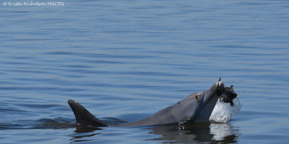Frill. Photo: Krista Nicholson/MUCRU/Mandurah Dolphin Research Project/Facebook