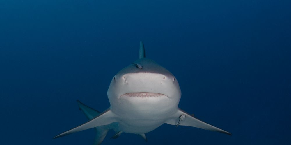 Stock pic of a bull shark.