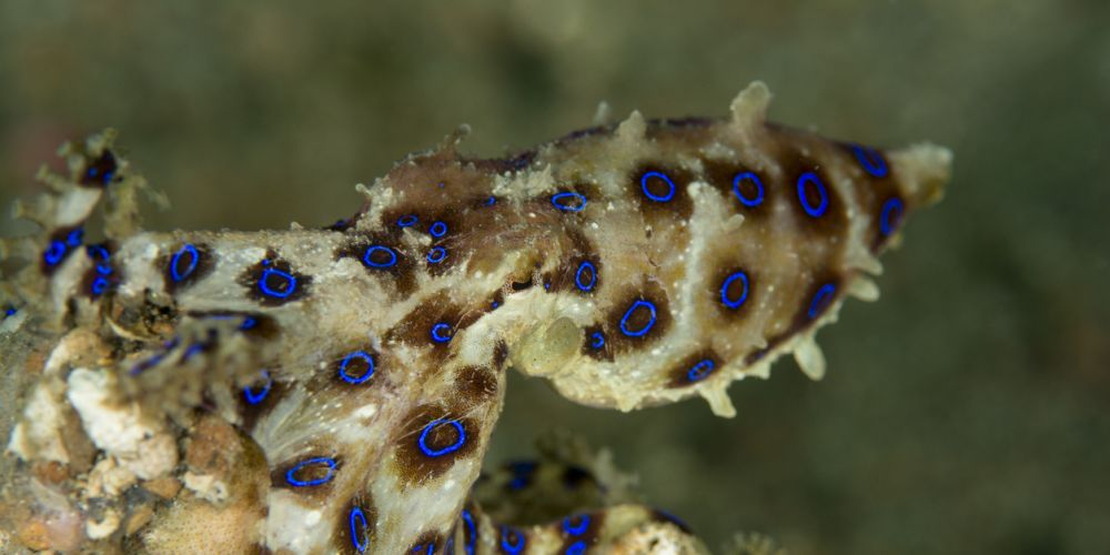 The blue-ringed octopus. Photo: iStock