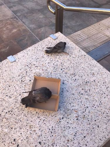 City of Perth says it is not responsible for pigeon baiting that left up to a dozen dead birds in Forrest Chase