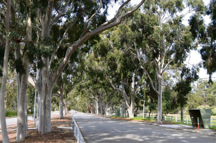 City of Kalamunda to consider protecting lemon-scented gums set for the axe