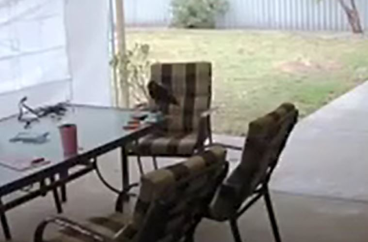 Kwinana backyard bandit revealed and the culprit is a crow